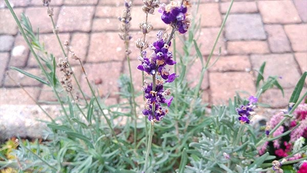 lavender is an effective sleep aid and a famous natural sleep herb